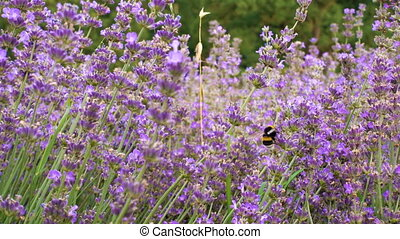 blooming lavender flowers with flying bumblebees