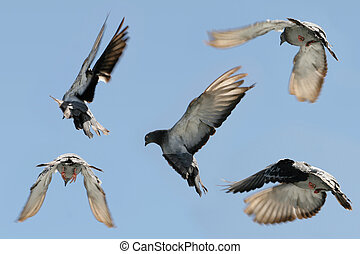 Pigeon in flight - Composite image of a beautiful grey...