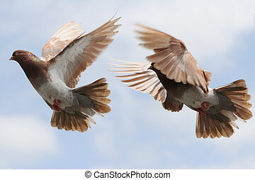 Pigeon in flight - Composite image of a beautiful pigeon in...