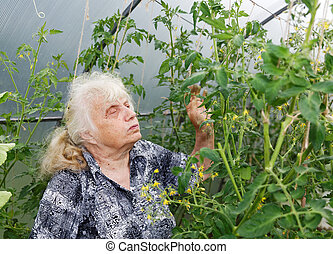 gray-haired grandmother considers bush tomatoes in a...