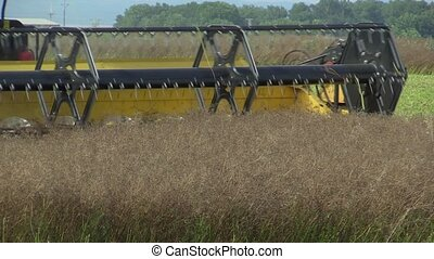 Harvesting of caraway seeds Carum carvi, harvester combine...