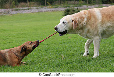 Dog tugging on rope toy - Labrador and a terrier dog playing...