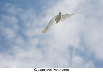 White dove in flight - Beautiful white dove in flight
