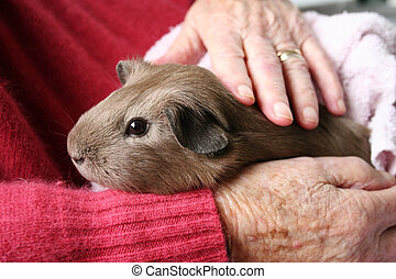 Pet therapy guinea peg - Pet therapy series. Guinea pig...