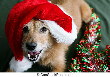 Dog in a Santa hat with happy face - Cute scruffy terrier...