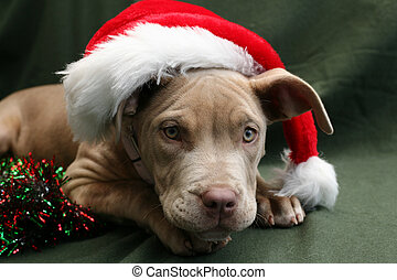 Pit bull pup in a Santa hat - Beautiful champagne colored...