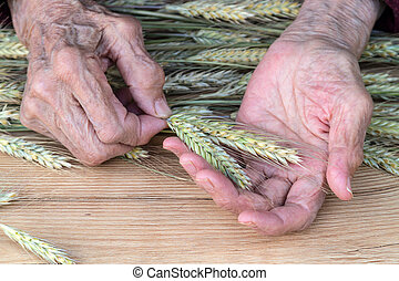 Hands of an old woman with ears of corn - The hands of an...