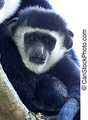 Black and White Colobus - Uganda, Africa - Black and White...