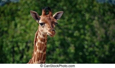 Baby Giraffe Portrait - Cute baby giraffe looking around on...
