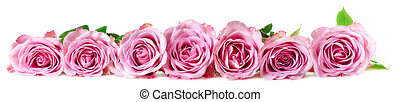 Panoramic image of roses on a white background