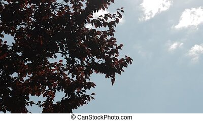 Red leaves swaying in the wind on