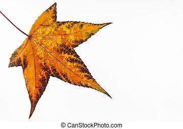 Autumn colored Liquidambar styraciflua leaf isolated