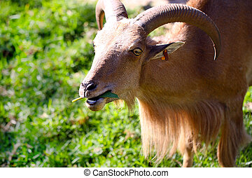 Barbary Sheep - Ammotragus lervia - Shallow Depth of Field