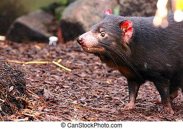 Tasmanian Devil smelling for scents - Sarcophilus harrisii