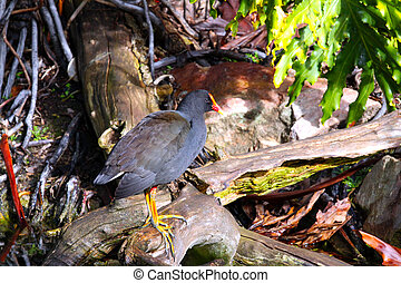 Dusky Moorhen - Gallinula tenebrosa - standing on riverbank