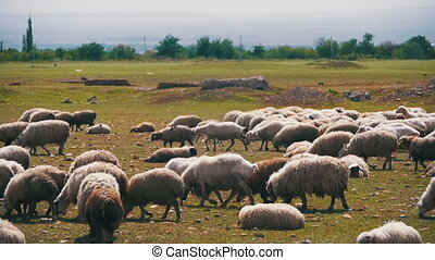 Flock of Sheep Grazing on a Field against the Backdrop of...