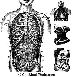 Vector Anatomical Graphics