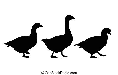 Set of realistic vector illustrations of geese and ducks,...