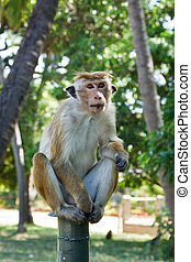 Long tailed macaque - Monkey - long tailed macaque. Sri...