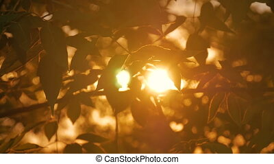 Nature background with silhouette of foliage. Sunset light,...