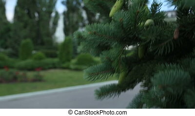 Closeup of Pine or Fir Tree Branches Moving on Wind.
