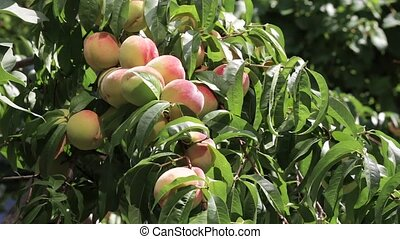 A lot of ripe peaches with leaves - Many ripe peaches with...