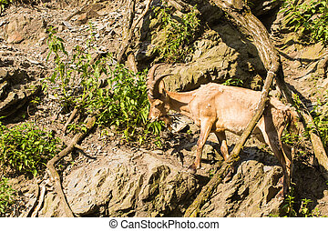 Wild goat in nature. Goat at the zoo