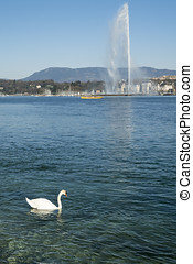 A swan swimming in Geneva Lake with Jet at the back