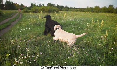 Two dogs happily playing on the grass - Two dogs happily...