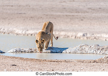 Female African Lion, Panthera leo, drinking water at a...