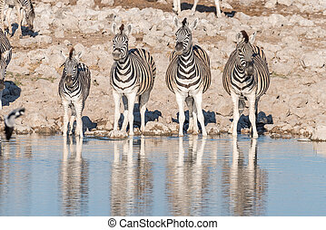 Four Burchells zebras at a waterhole in Northern Namibia -...