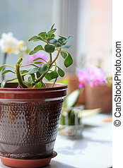 Aichrizon - beautiful home plant in a flower pot. -...