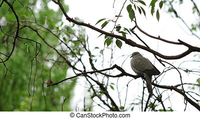 Dove on a branch under the rain... - Pigeon on a branch in...