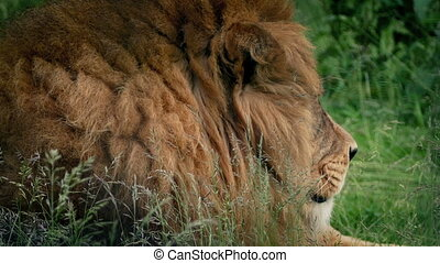 Big Lion Lies Down In The Grass - Lion Looks around and lies...
