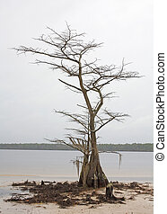 gnarly tree - dead tree on the shores of Lake Jones in the...