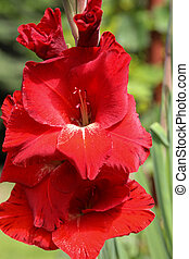 verano, cabeza, gladiolo, flor del jardín