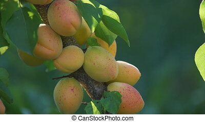 Ripe apricots on a branch - Ripe apricots on a close-up...