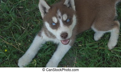 Portrait of a dog of the Husky breed