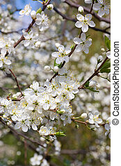 Cherry blossom flowers in spring