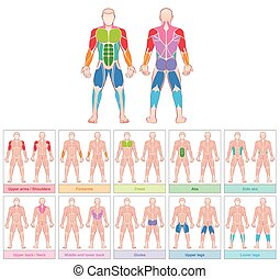 Muscle Groups Colored Chart - Muscle groups - chart with...