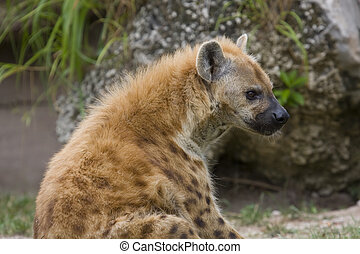 Spotted Hyena - Spotted hyena sitting