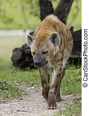 Spotted Hyena - Spotted hyena walking