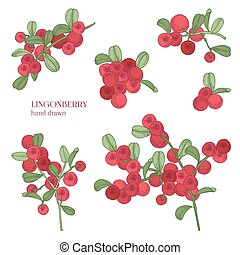 Lingonberry set. Detailed hand drawn branches with berries....