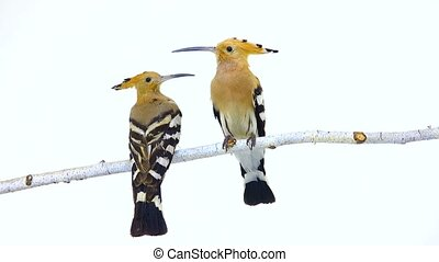 Eurasian Hoopoe (Upupa epops) isolated on a white background...