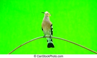 Eurasian Hoopoe (Upupa epops) isolated on a green background...