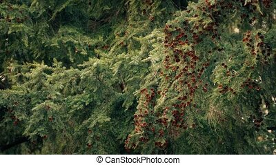 Branches Heavy With Pine Cones At Sunset - Woodland pine...