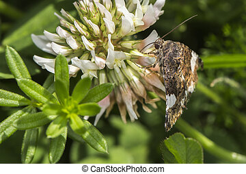 four-spotted,  moth,  luctuosa),  (tyta