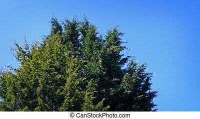 Bushy Pine Tree In Breeze - Large bushy evergreen tree sways...
