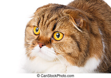 serious Scottish Fold cat on white background closeup -...