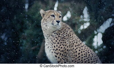 Cheetah In Snowfall - Cheetah sitting in the wild with snow...